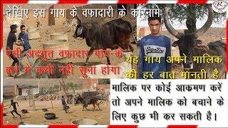 देखिए वफादार गाय के आश्चर्यजनक वफादार कारनामे, See the amazing things of the loyal cow