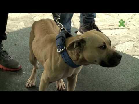 International Race for Pitbulls - Sofia Bulgaria (part II)