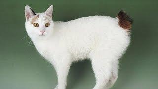 Японский Бобтейл - кошки с заячьим хвостиком