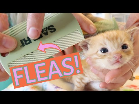 Ick! These Kittens Need a Flea Bath! (How to tell if a kitten has fleas--and what to do.)