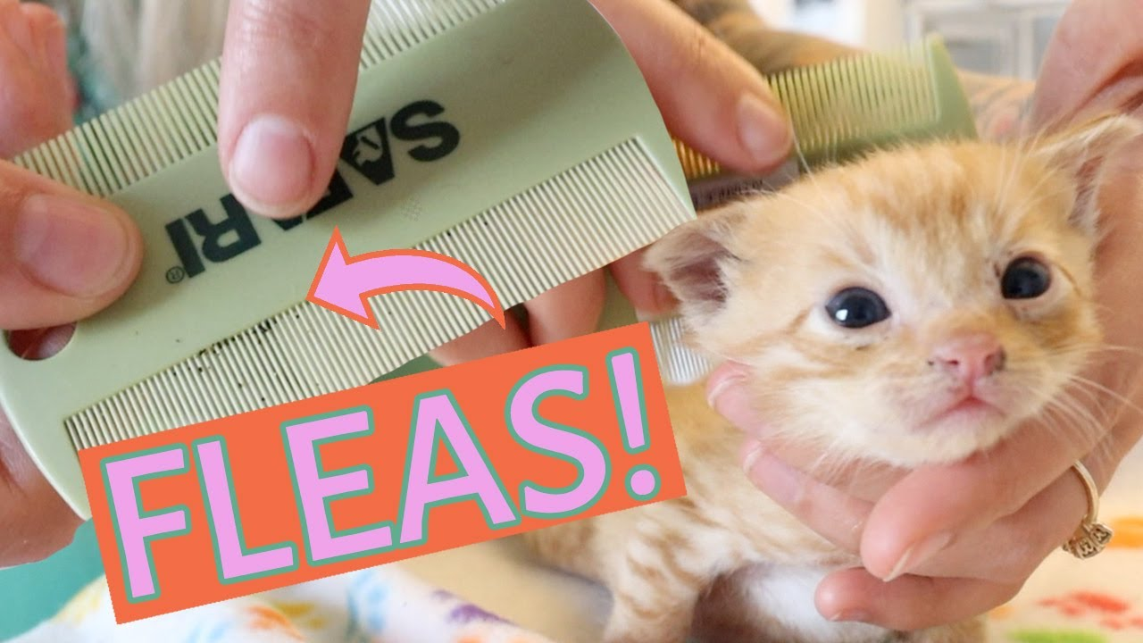 Ick These Kittens Need A Flea Bath How To Tell If A Kitten Has Fleas And What To Do Youtube