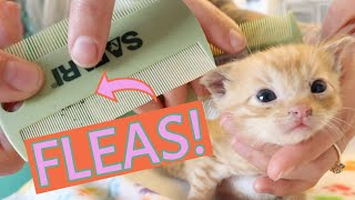 Ick! These Kittens Need a Flea Bath! (How to tell if a kitten has fleasand what to do.)