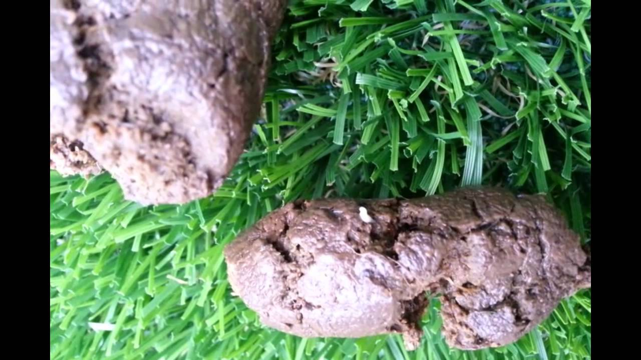 White Tapeworm Monster In My Dog S Poo Stool Youtube