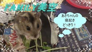 ハムスター かくれんぼ!あさちゃんみーつけた☆ thumbnail