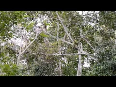 The leaping skills of colobus monkeys