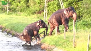 An entire town gets together to free two giant elephants from ZD Canal