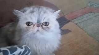Персидская кошка ругает свою хозяйку