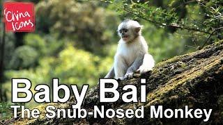 Baby Bai, the Snub-Nosed Yunnan Monkey | A China Icons Video