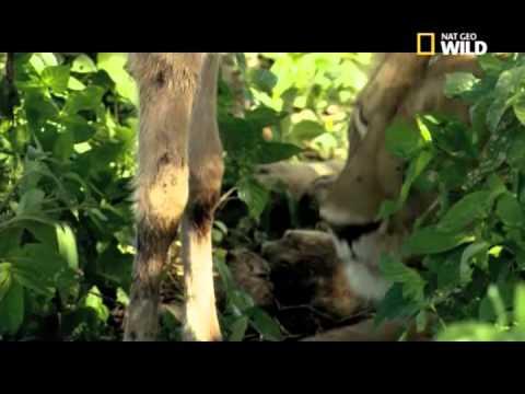 La leonessa adotta lo gnu - National Geographic