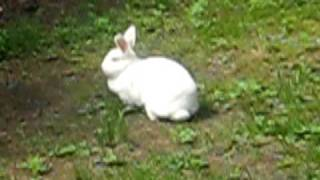 bunny/bunbun the rabbit hopping around the yard