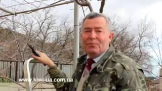 Зимняя обрезка киви/ Как растут киви я Ялте/ Купить саженцы киви/ Ялта/ Крым