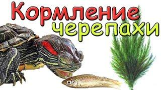 Кормление красноухой черепахи #Leonidych