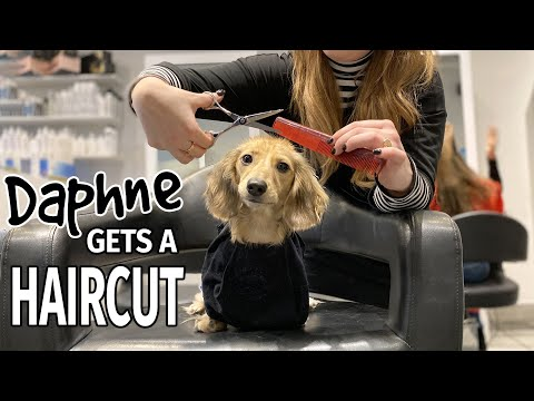 Ep#16: Daphne Gets a Haircut! (Finale) - Cute Dachshund Video!