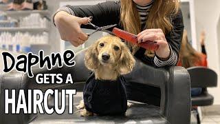 Ep#16: Daphne Gets a Haircut! (Finale)  Cute Dachshund Video!