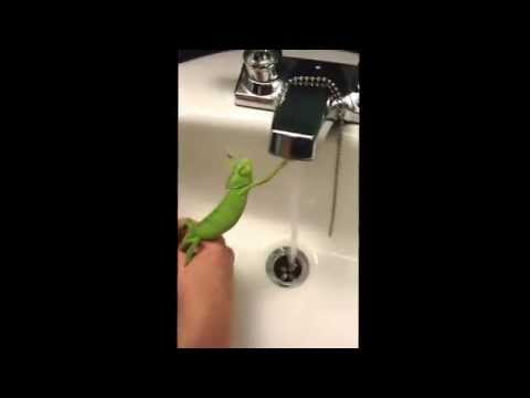 Adorable chameleon trying to grab water