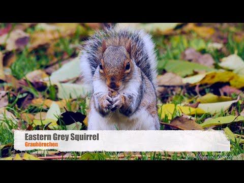 [Eastern] Gray Squirrel (Sciurus carolinensis) / Grauhörnchen [1]