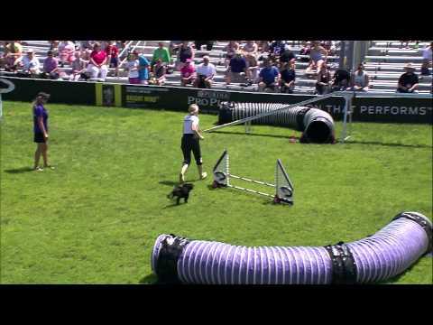 Small Dog Agility 3rd Place - Incredible Dog Challenge 2015 Boston, MA