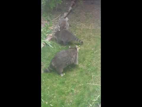 Raccoon wrestling