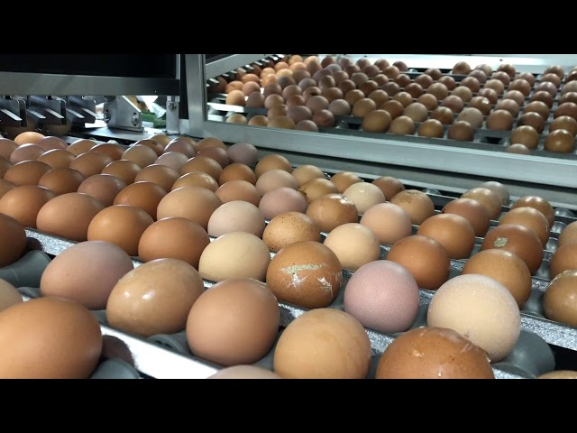 Eggs In-Line sorting Vision System