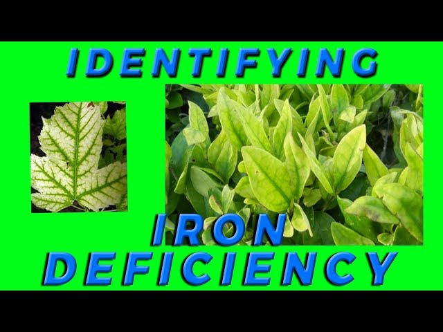 Lesson 6: How to Identify Iron Deficiency in Crops
