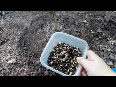 Como plantar feijão preto com sucesso - ORGÂNICO