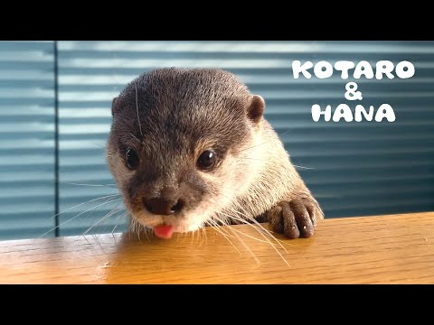 Kotaro the Otter Has loved This Toy Since Babyhood from YouTube · Duration:  3 minutes 51 seconds