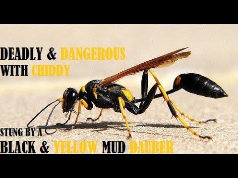mud wasp sting