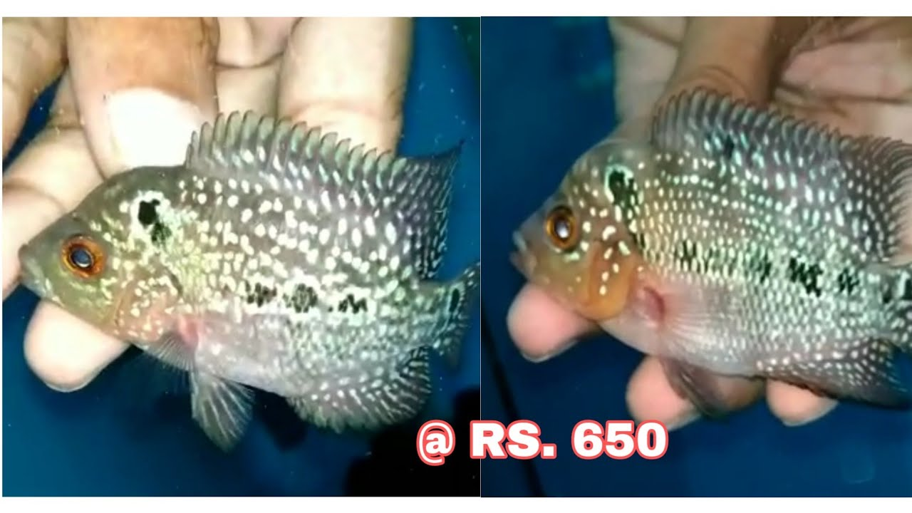 Kamfa flowerhorn fish for sale || All India Delivery Available || jsk pets  ||