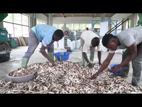 Transforming cassava peels into animal feed
