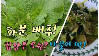화분 배추, 미니비닐하우스 채소 근황, 201011