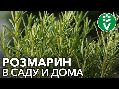 СЕКРЕТЫ РОЗМАРИНА. Как вырастить полезную пряность из черенков и семян
