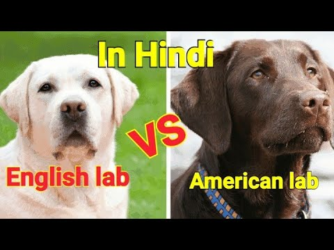English labrador vs American labrador .