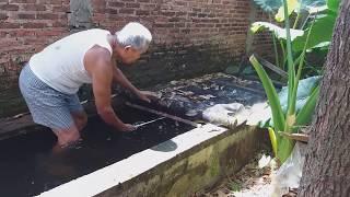 Kaget .. panen ikan Gurame besar