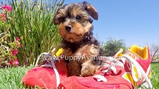 Indigo The Akc Yorkshire Terrier Female Puppy For Sale In Escondido, Ca