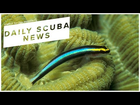 Daily Scuba News - Cleaner Wrasse Are Self-Aware