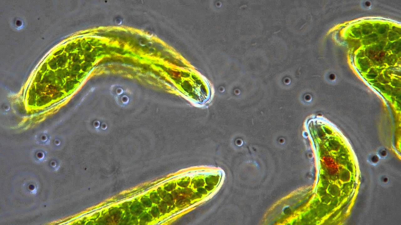 Euglena flagellum movement in phase contrast youtube ccuart Gallery