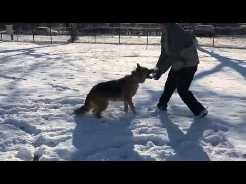 Shepherd plays in the snow