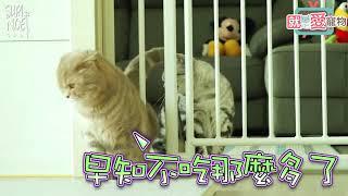 奴才設置柵欄想看看貓咪如何突破圍欄,每一隻貓咪可愛的反應萌翻網路圈