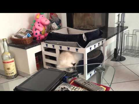 Clicker training with birman cat Neva