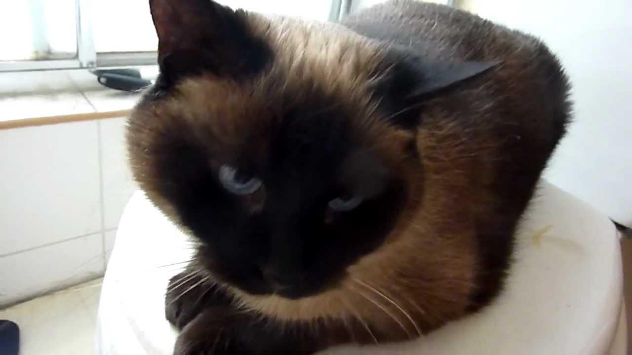 Cats Meowing Loud Youtube