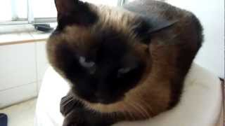 Siamese cat meowing before I take a shower
