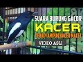 Kacer Gacor Terapi Burung Kacer Macet Bunyi  Mp3 - Mp4 Download