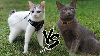 Japanese Bobtail VS Korat Cat | Korat vs Japanese bobtail cat breed