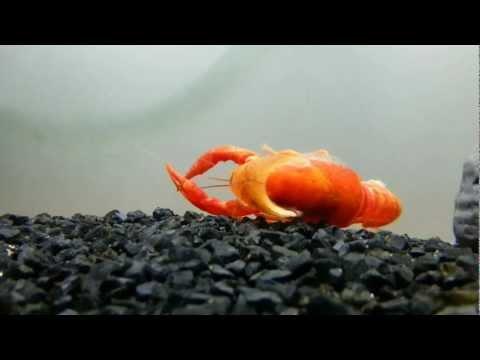 Procambarus Clarkii Crayfish Molting