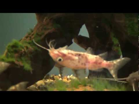 Video Upside down catfish pictures