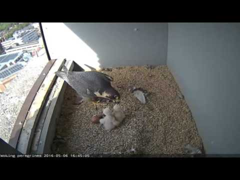 The Woking Peregrine Project   Live Web Feed of the Woking Peregrines   Google Chrome 06 05 2016 16