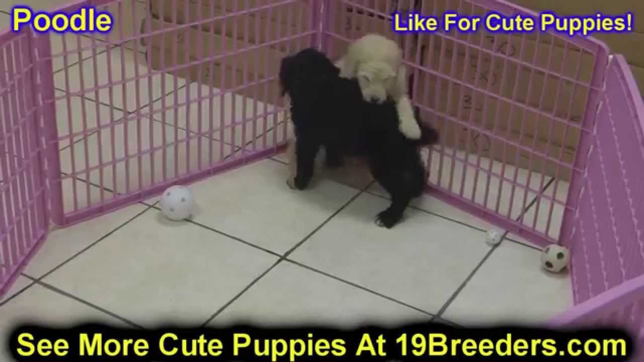 Standard Poodle, Puppies, Dogs, For Sale, In Little Rock ...