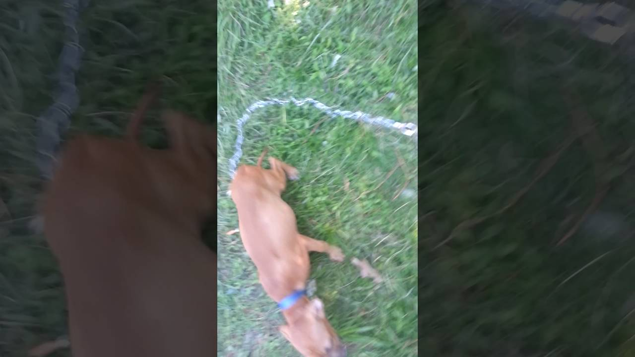 Williams kennels eli/jeep redboy puppies and foundation by
