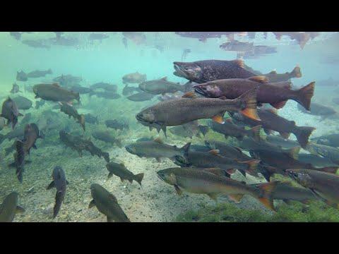 INCREDIBLE salmon run Underwater + Drone footage