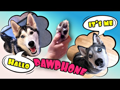 Loki Calling Ms. Laika The Husky On Pawphone!